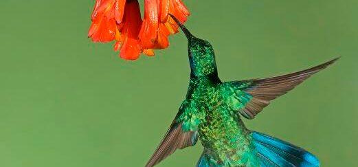 Wie schaffen es Kolibris und Fledermäuse, in der Luft an einer Stelle zu schweben?
