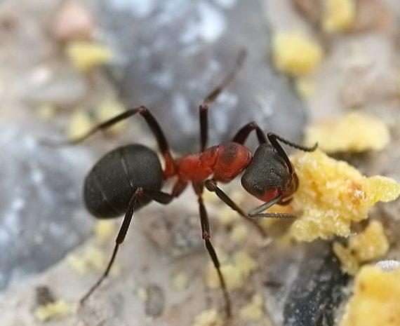 Warum klatschen sich Ameisen ab auf dem Weg zum Futter?