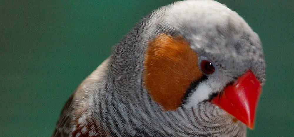 Können Vögel stottern?