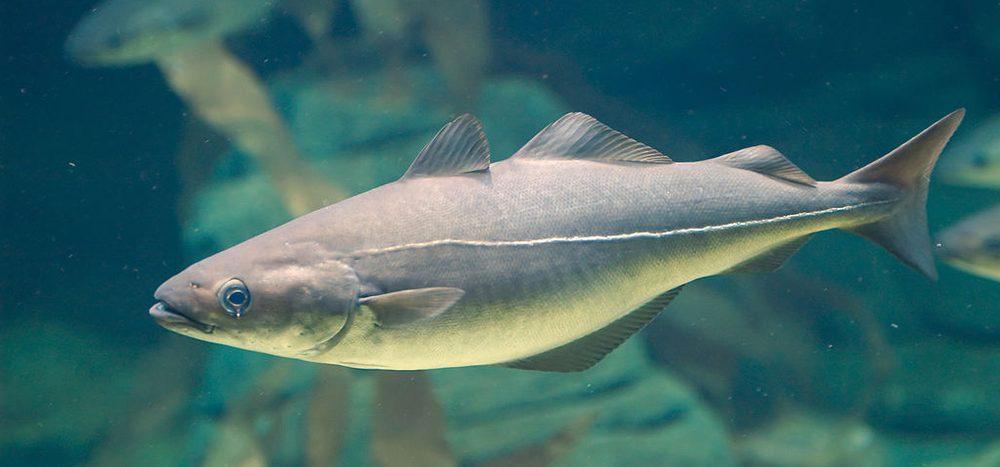 Der Seelachs ist ein Lachs