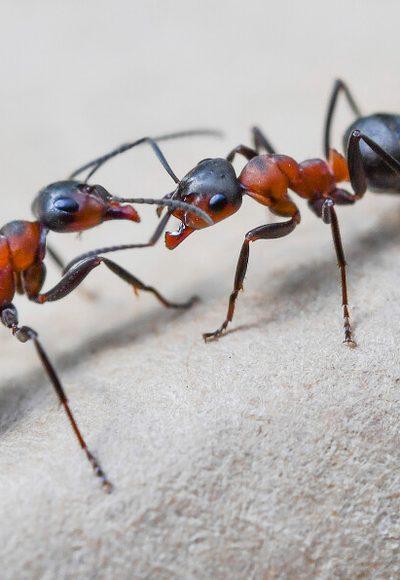 Klatschen Ameisen sich ab?