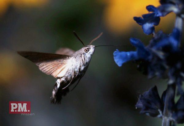 Heimischer Kolibri?