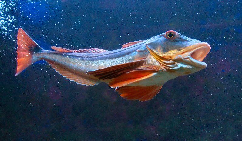 Sind Fische wirklich stumm?