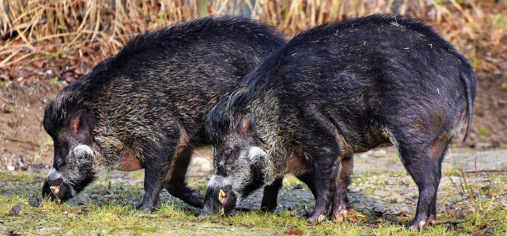 Haben Wildschweine kein Zuhause?