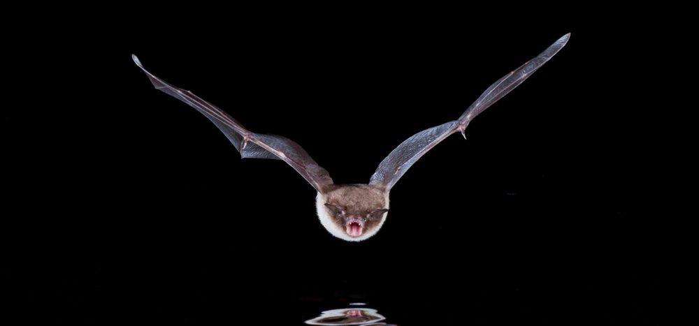 Verbreiten Fledermäuse Krankheiten?
