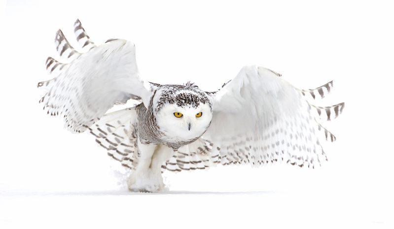 Wie schafft es die Schnee-Eule, lautlos zu fliegen?