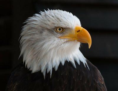 Warum sehen Adler so gut?