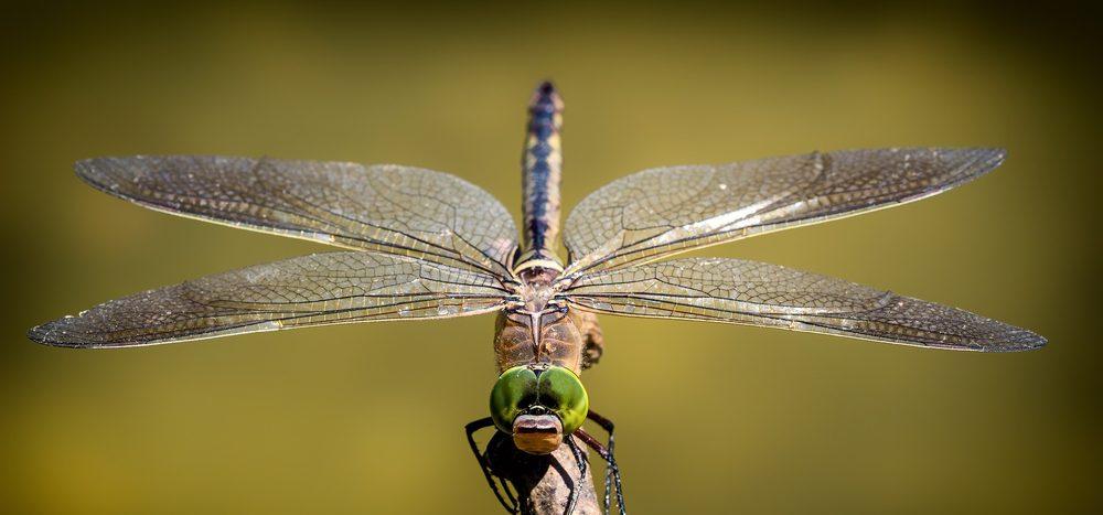Können Insekten menschengroß werden?