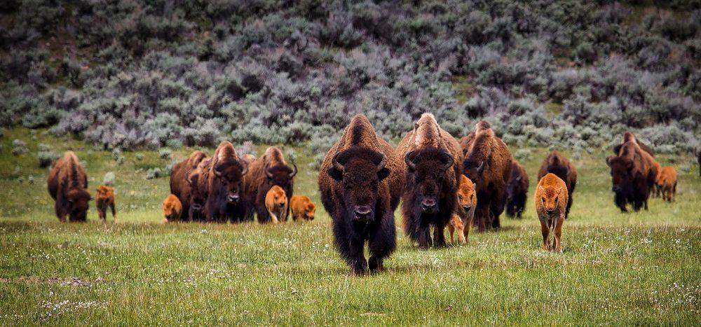 Was unterscheidet Bison, WisentundBüffel?