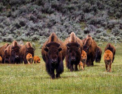 Bison, Wisent oder Büffel?