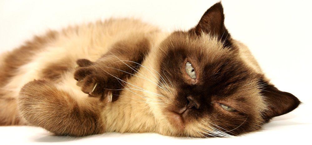 Miauen Katzen nur für uns?