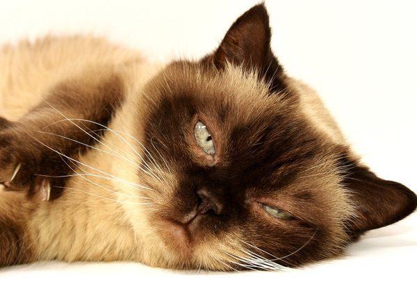 Warum miauen Katzen?