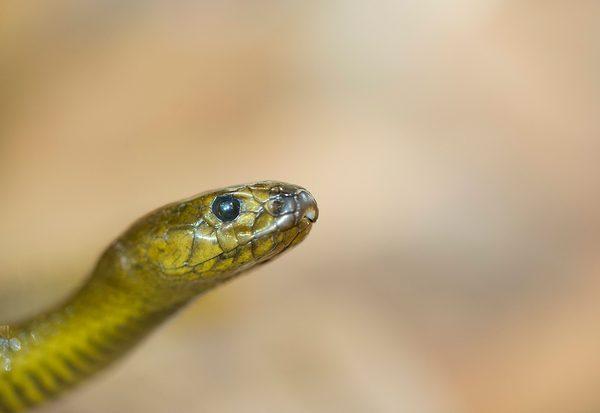 Lebensgefahr: Schlangengift
