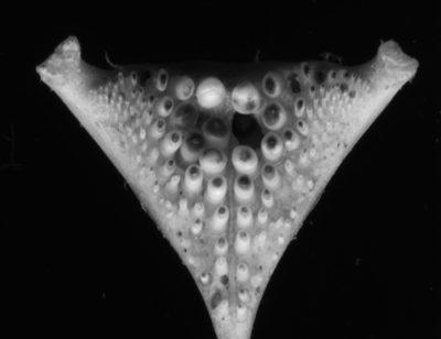 Fischzähne und Implantate