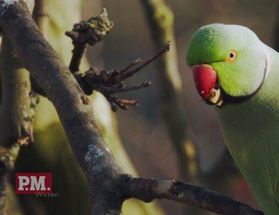 Wilde Papageien bei uns?