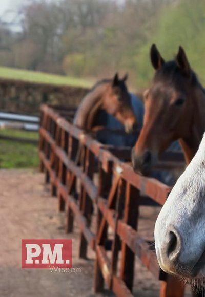 Schlafen Pferde im Stehen?