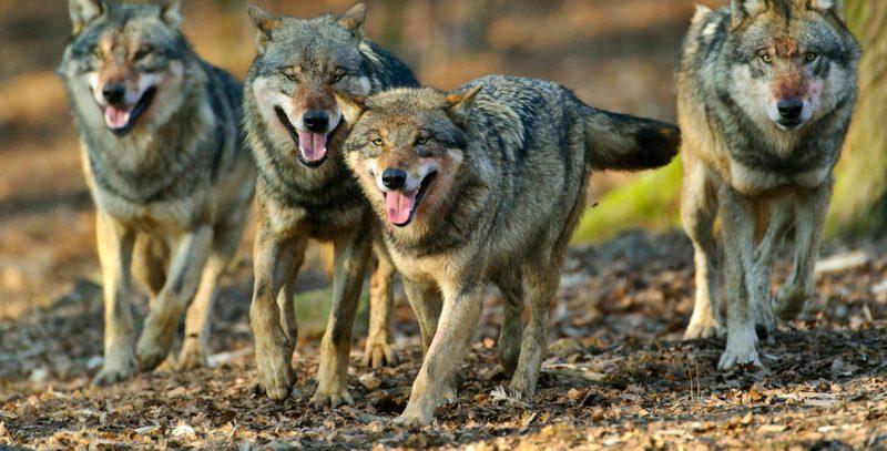 Griffen Wölfe Menschen an?